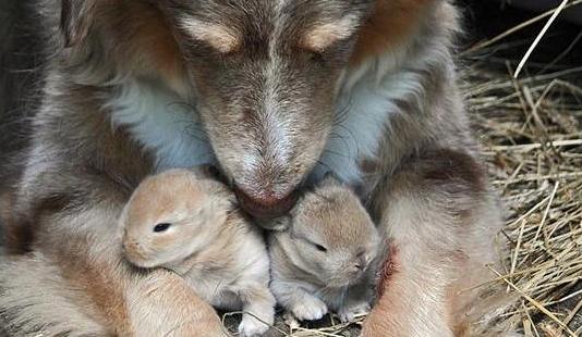 Dog cuddling bunnies